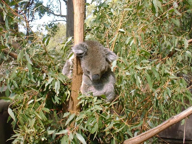 お休み中のコアラ